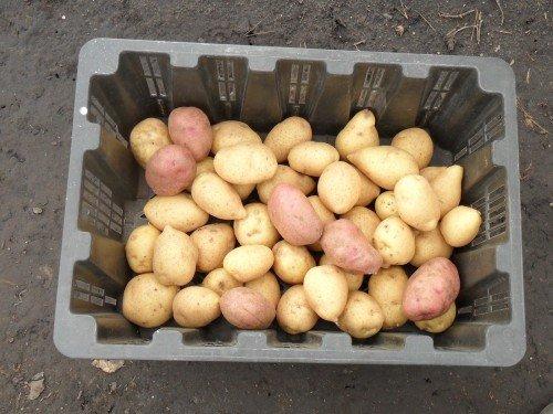 Урожай здорового картофеля