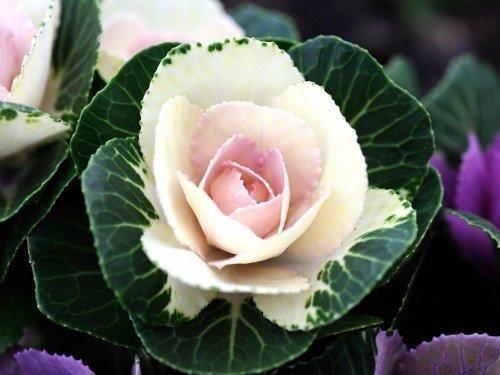 Декоративная капуста как роза