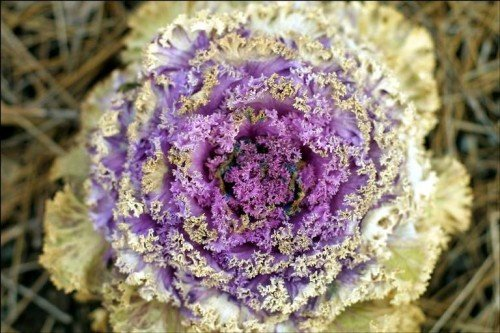 Декоративная капуста розетка