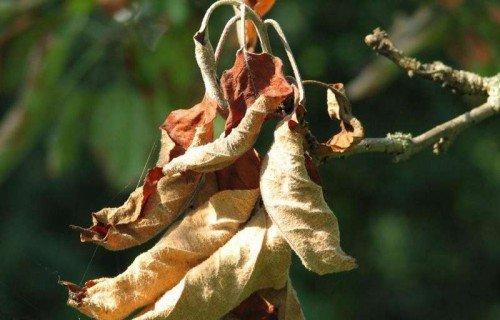 Засохшие яблочные листья