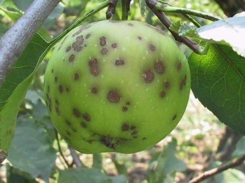 Яблоко пораженное паршой