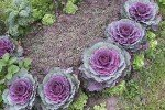 Капуста пурпурный голубь