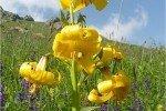 Лилия армянская