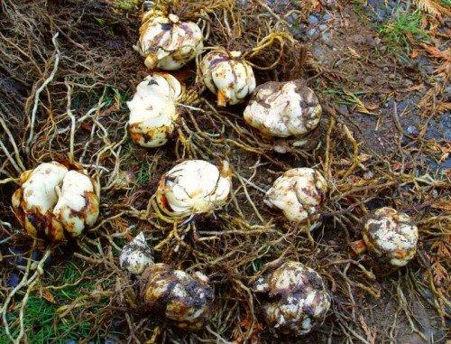 Луковицы лилии для пересадки