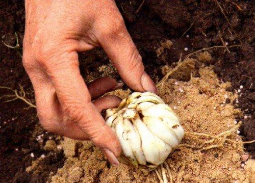 Переседка луковицы лилии