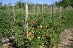 Подвязка помидоров к натянутому шпагату