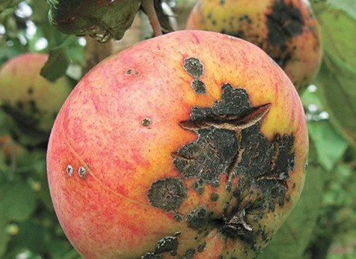 Трещина на поражённом яблоке