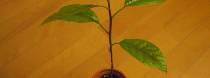Как вырастить авокадо в саду