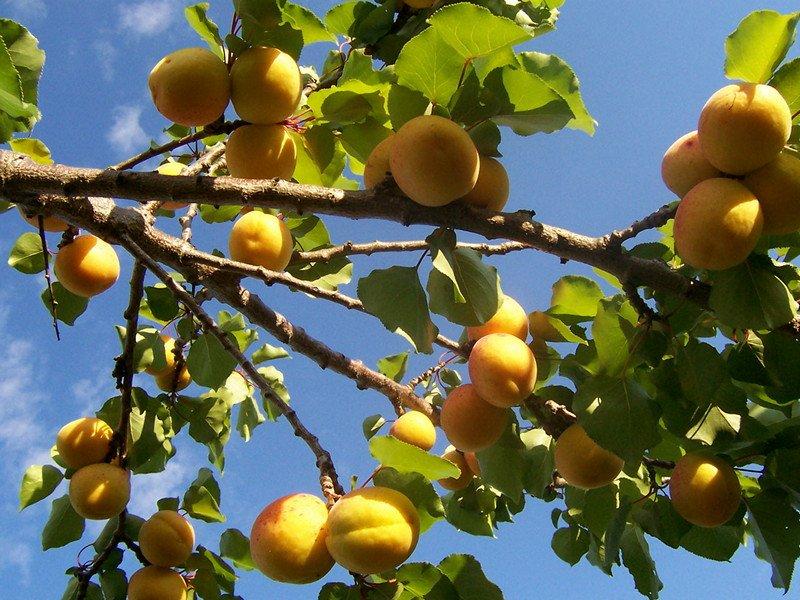 Как вырастить абрикосы и персики
