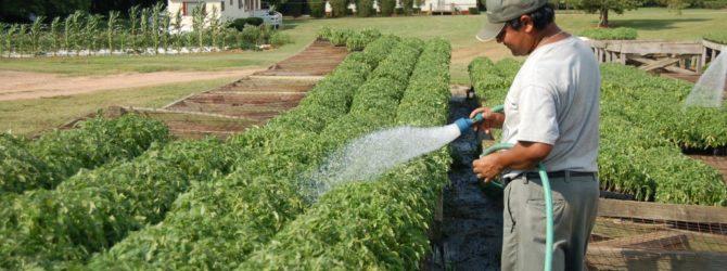Все, что необходимо знать о поливе помидоров в открытом грунте
