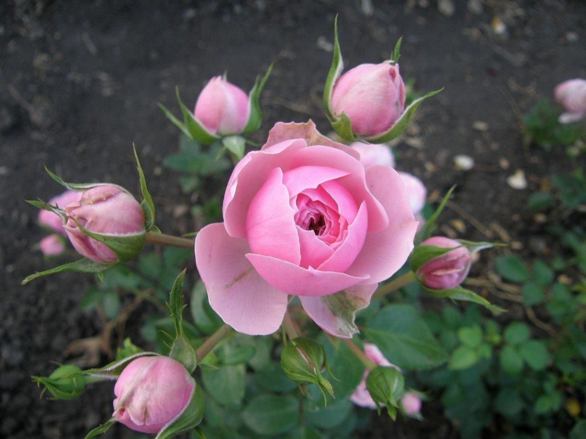 Как выбрать саженцы роз