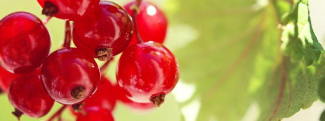 Как правильно растить красную смородину