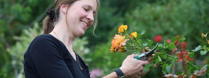 Обрезка роз весной – приводим цветы в порядок