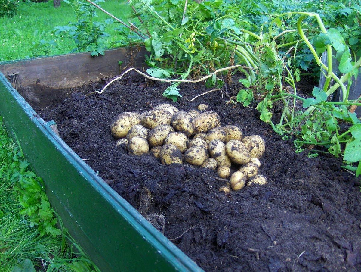 Как самому вырастить рассаду картофеля (подробно)