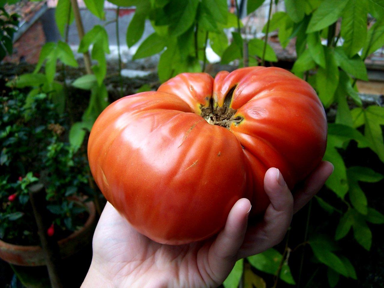 Выращиваем томаты без меди
