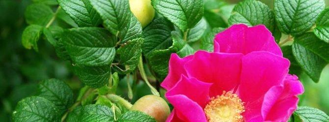 Выращивание и целебные свойства шиповника