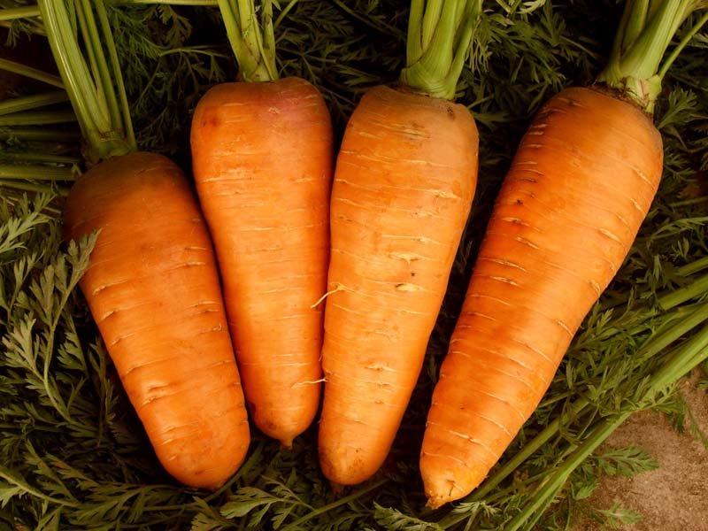 Морковь — выращивание, хранение, подкормка