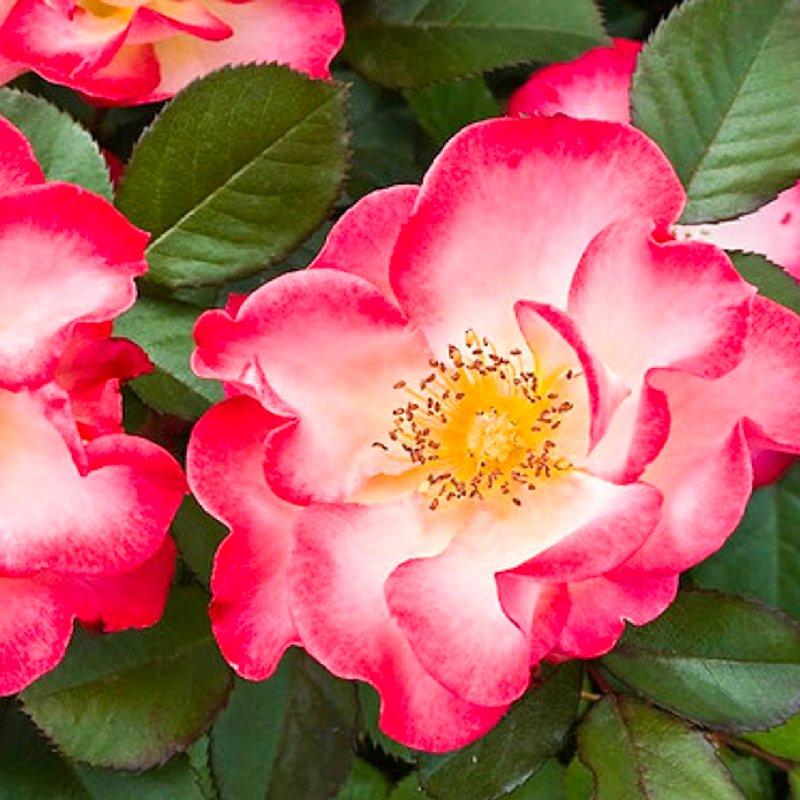 Парковые розы: посадка и уход