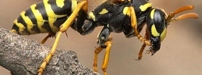 Как бороться с осами и пчелами на даче