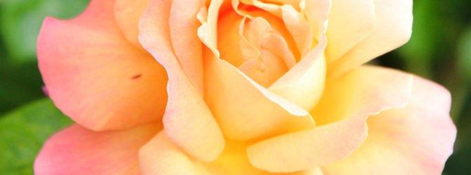 Посадка и размножение роз