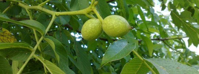 Таежный долгожитель или уссурийский грецкий орех