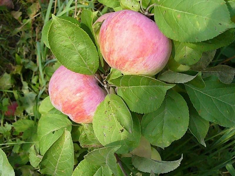 Абсолютно здоровые яблони