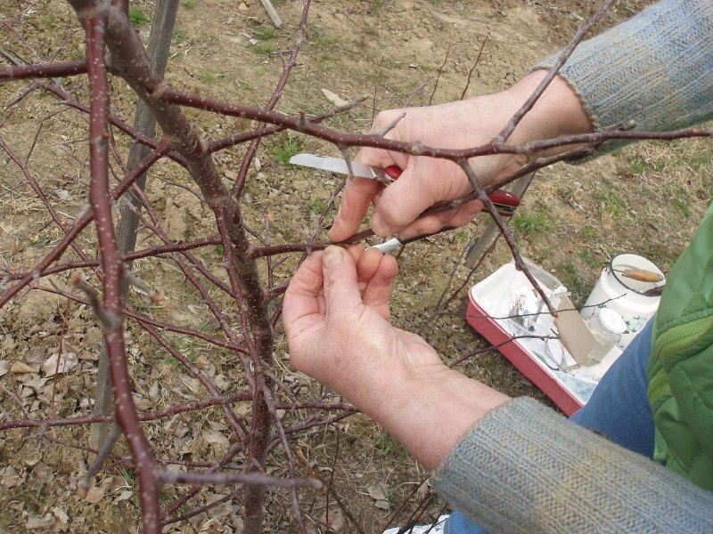 Весенняя заготовка черенков для прививки плодовых деревьев