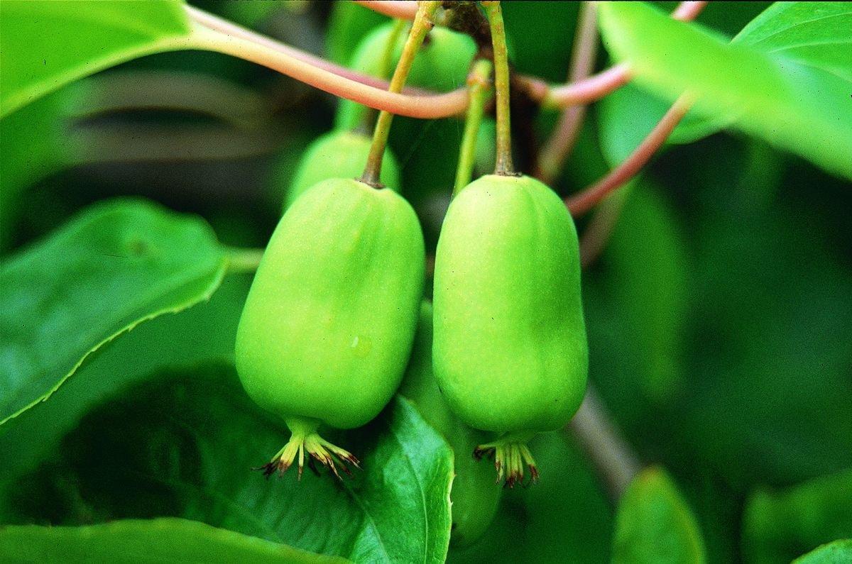 Актинидия коломикта — изумительное украшение сада