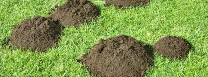 Как спасти газон от кротов