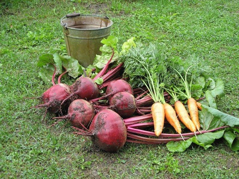 Как вырастить морковь и свёклу