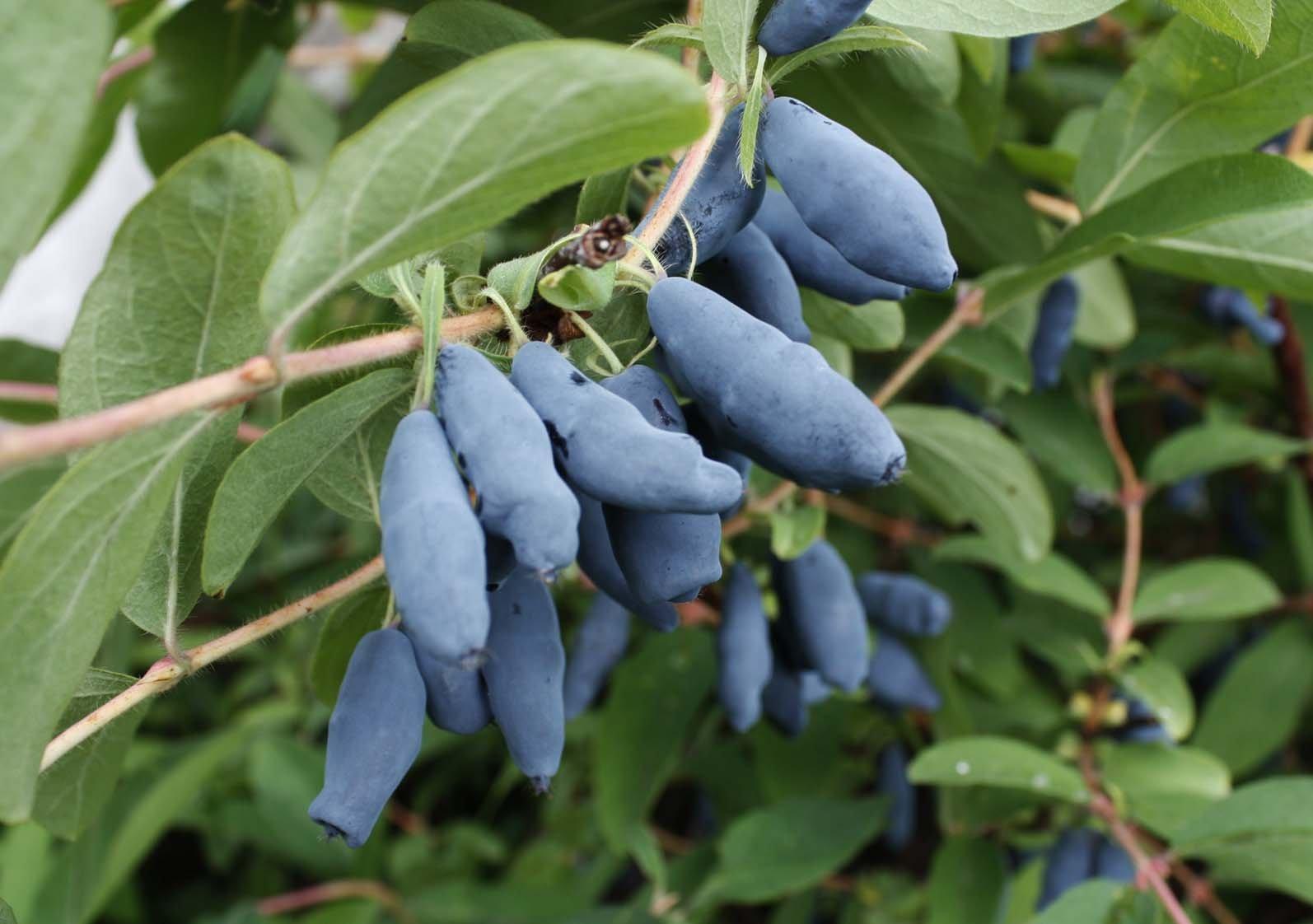 Названия синих ягод с картинками