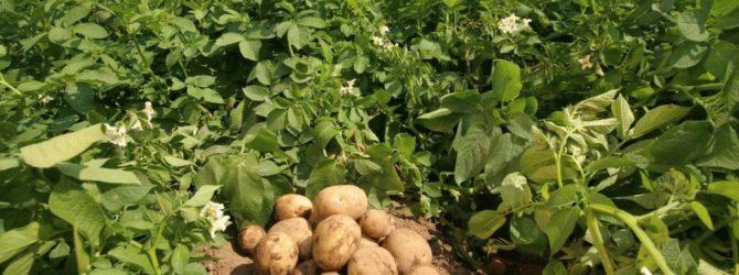 Выращиваем картофель в контейнере