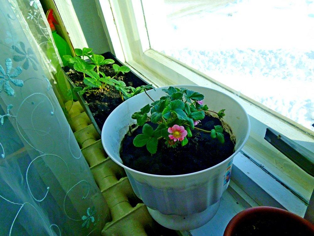 Земляника из семян: все просто