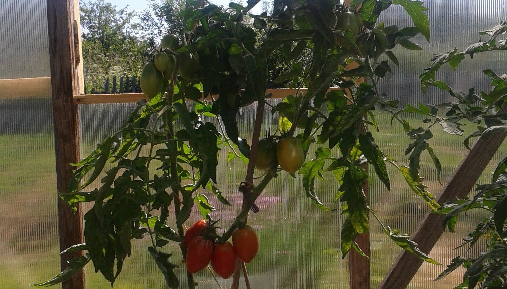 Выращиваем ранние помидоры