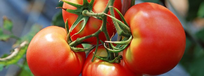 Выращиваем помидоры – личный опыт