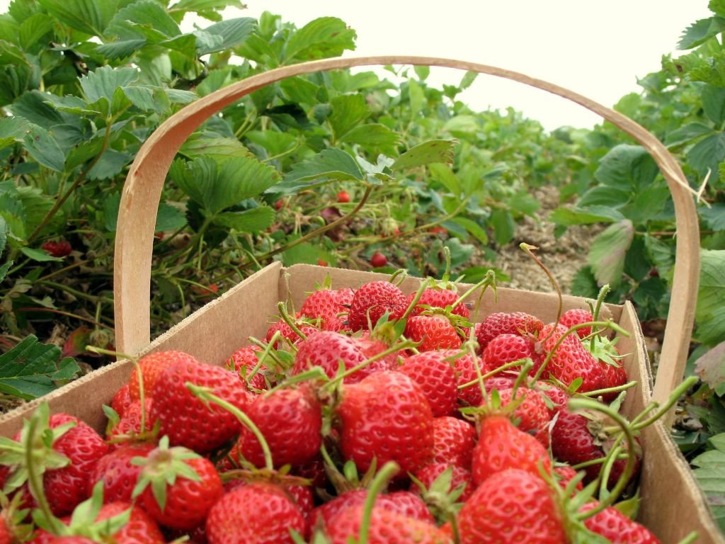 Как повысить урожай земляники