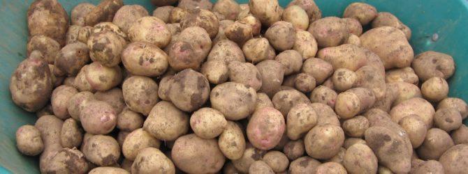 Как увеличить урожай картофеля в десять раз