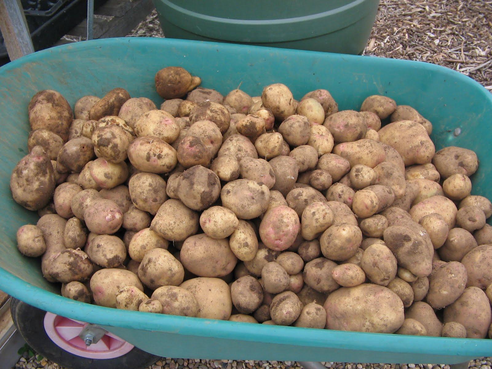 Как увеличить урожайность картофеля