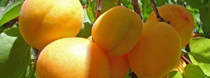 Маньчжурские абрикосы: советы по выращиванию