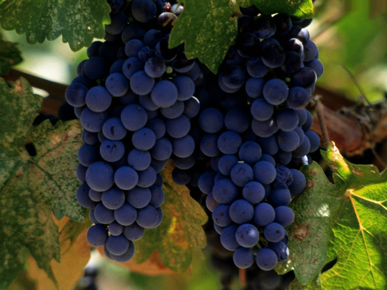 Как вырастить хороший виноград
