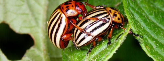 Колорадский жук: как бороться с помощью апельсинов