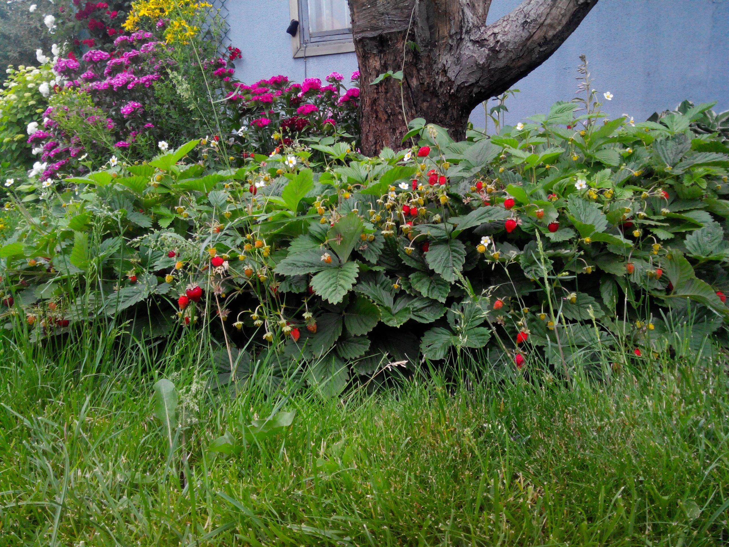 Выращивание безусой земляники