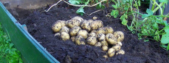 Как вырастить ранний картофель — советы огородникам