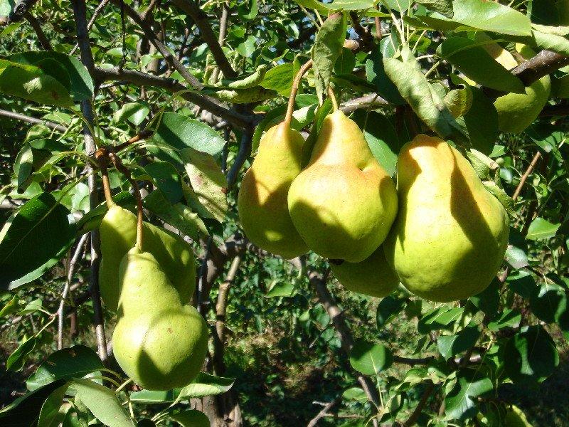 Выращивание груши на даче