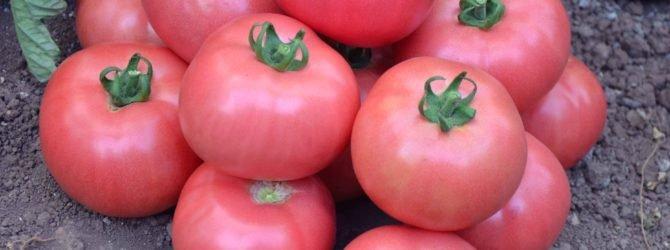Жемчужины томатной коллекции
