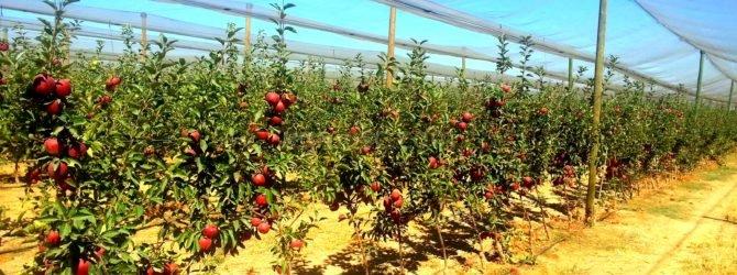 Как заложить яблоневый сад…