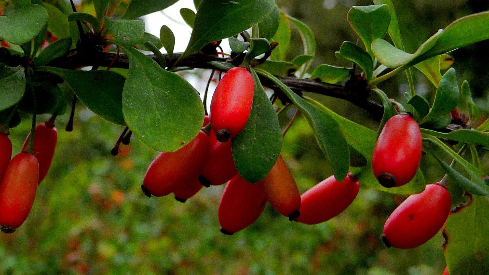 Барбарис: как вырастить урожайный куст