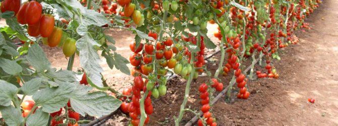 Дачные хитрости: формируем кусты помидоров