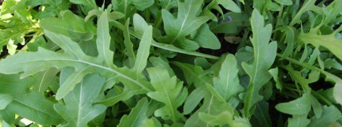 Растение Руккола