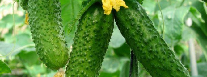 Огурцы: выращиваем под лещиной